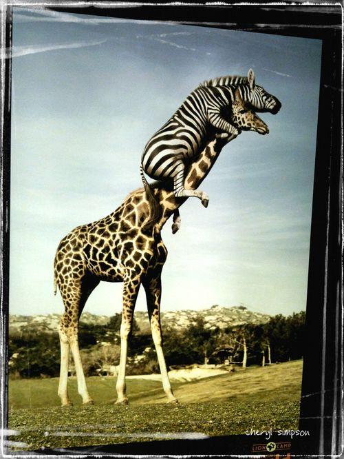 Zebra-&-Giraffe'