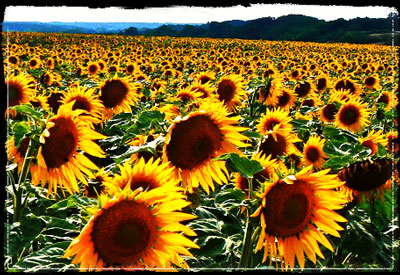 Sunflowers'